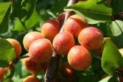 Отримати з насіння: що нам дає селекція абрикоса