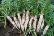 Бажаний гість з Японії: вирощуємо дайкон