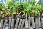 Каждый день – для винограда: посадка зеленых вегетирующих саженцев