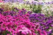 Всі барви калістефуса: в березні висіваємо айстри