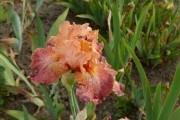"""Липень у квітнику: бородаті іриси мають """"позасмагати"""""""
