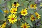 """Підземний """"артишок"""": вирощування, користь та цілющі властивості топінамбура"""