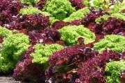 Отчего чахнет салат