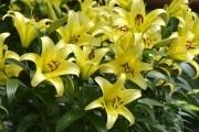 Царственно статные и изысканные лилии