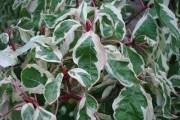Украшает пестрая листва: эффектные формы декоративных растений