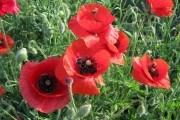 Барви та аромати різнотрав'я: рослини українського степу