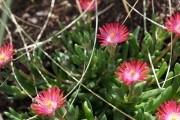 Кришталева травичка: особливості вирощування доротеантуса