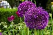 Коли цвіте цибуля: вирощуємо декоративні види культури у садибі