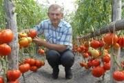 Яблоко любви: выбираем лучшие сорта томата