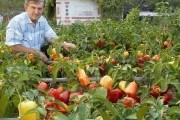 Заметки перцеводов: самые эффективные агроприемы
