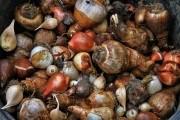 Цибулинна епопея: правила осінньої посадки тюльпанів, нарциссів, крокусів, рябчиків та інших...
