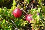 :вирощуємо великоплідну американську журавлину
