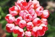 Тюльпаноподібна пеларгонія: вишукана і незвичайна