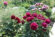 Наш пионовый рай: выращиваем украинские сорта
