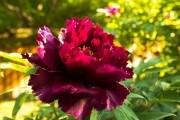Сад, що завжди квітне: як подовжити терміни цвітіння півоній
