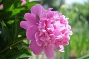 Пионы встречают весну: рекомендации для успешного выращивания