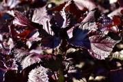 У перили – особливий смак: вирощуємо азіатські прянощі