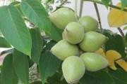Розширюємо сортимент: як розмножувати різні види горіха