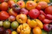 Помідори для аномального сезону: вирощування стійких та продуктивних сортів