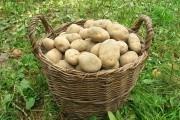 Бережи свій врожай: особливості збору і зберігання цибулі та картоплі