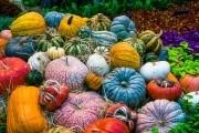 Дивные тыквы: сорта на любой вкус