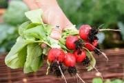 Редис без хлопот: выращиваем самые скороспелые корнеплоды