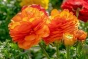 Жовтець – квітка нареченої: ботанічні особливости, вирощування, види і сорти
