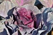 Чарівна смаглявка: вирощування червоної капусти