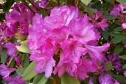 Прекрасні, як янголи небесні: прикрашаємо садибу рододендронами