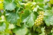 як поливати виноградник