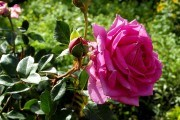 Сади, де квітнуть королеви: троянди у ландшафтному дизайні