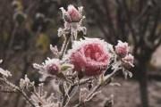 Під теплим покривалом: як вкривати на зиму різні види троянд