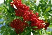 Садова аптека: вирощування та використання аронії і горобини