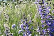Дійова особа - шавлія: цілющі властивості рослини