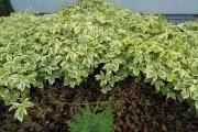 Розстелемо зелені килими: користь і краса ґрунтопокривних рослин