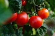 Городній переполох: томатна міль і засоби боротьби з нею