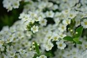 Алісум, чарівний блукач: ботанічні особливості та вирощування у квітнику