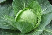 Захист капусти від хвороб та шкідників