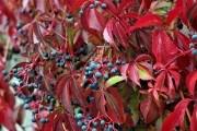Різнобарвний світ ліан: декоративні види винограду у садибі