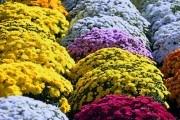 Не квітка, а чисте золото! Особливості вирощування кулястих хризантем