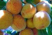 Втомлені сонцем: як виростити продуктивний персиковий сад