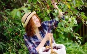 Коккомикоз вишни: характерные симптомы и меры борьбы с ним