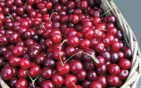 Загальна улюблениця: сорти вишні для вирощування в Україні