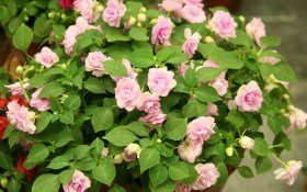 Тендітні красені: вирощуємо серії і сорти бальзаміну Уоллера та новогвінейські гібриди