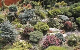 Не ялиною єдиною: всі відтінки ялиці одноколірної у садибі