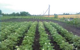 """Картопля з перепонами: вирощуємо """"кольорові"""" сорти"""