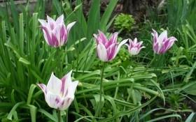 Небезпечні смуги: віруси цибулинних квіткових культур та захист від них