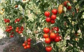 Без проблем та помилок: корисні агротехнічні прийоми при вирощуванні помідорів