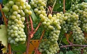 Мрії збуваються: досвід вирощування столового винограду в міських умовах