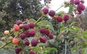 """Запашні малинові """"ґрона"""": досвід вирощування сорту Зюгана"""